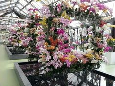 A mass display of #Phalaenopsis #orchids