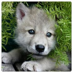 Nera The Wolf Pup Photo:  This Photo was uploaded by Faola-Nightcore. Find other Nera The Wolf Pup pictures and photos or upload your own with Photobucke...