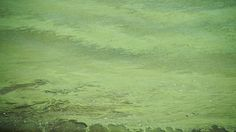 Ohio River's huge algae bloom a warning for water suppliers Water Supplier, City Clean, Ohio River, Local News, Bloom, Painting, Painting Art, Paintings, Painted Canvas
