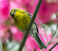 Pine Warbler: 10 May 2015, Wicomico Church, VA, 11:00 a.m., mostly sunny, 73 degrees, calm