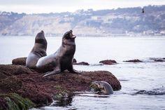 Seals in La Jolla, CA