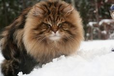 Male sibby Animals, Cats, Animais, Animales, Animaux, Animal, Dieren
