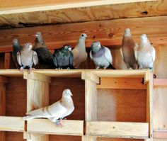 Martha Stewart: Pigeons Arrive At My Bedford Farm. We have 10-pairs in our Bedford flock.They include, from left to right, a Dunn Tippler, Egyptian Swift, Egyptian Swift, Egyptian Swift, Damascene, Dunn Tippler, Isabella Tippler, Isabella Tippler, and the lower one, another Isabella Tippler.