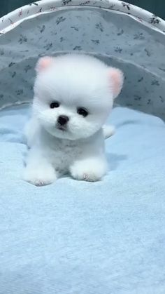Very Cute Puppies, Cute Teacup Puppies, Cute Small Dogs, Cute Baby Dogs, Baby Animals Super Cute, Cute Funny Dogs, Cute Funny Animals, Teacup Chihuahua, Funny Pugs