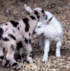 #goatvet likes this photo of these Nigerian dwarf goat kids from Beech Hill Farm, USA