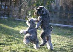 Schnauzers Dancing