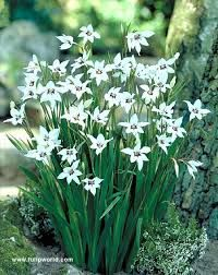 Resultado de imagem para Gladiolus callianthus-Acidanthera