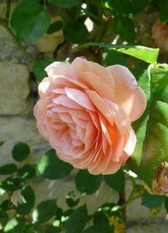 Yet more scent, and subtle color: Rosa Leander,
