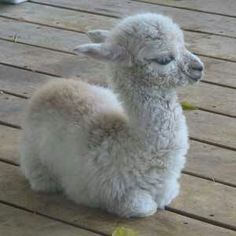 So fuzzy.. Baby alpaca