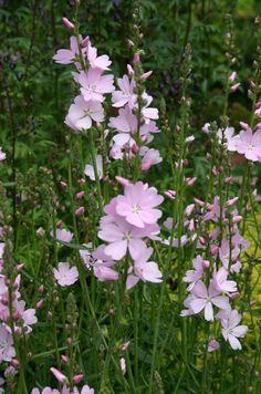 Axmalva 'My love', Sidalcea x cultorum Cut Flowers, Wild Flowers, Cut Flower Garden, Painting Patterns, Flower Beds, Dream Garden, Garden Plants, Flower Power, Perennials