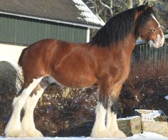 Clydesdale - Named-Woodhouse Lucky Strike in Sweden - from The Clydesdale Horse Society
