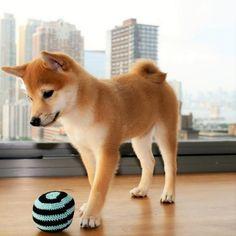 Colores del shiba inu #shiba #raza #perro