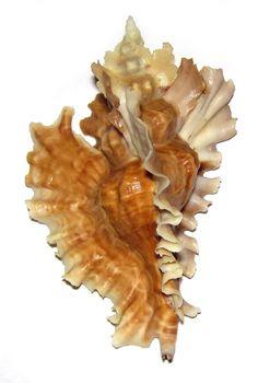 PTERYNOTUS PHYLLOPTERUS MURICIDAE   / Pearl-Nautilus