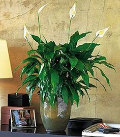 List of air purifying plants. Pictured: peace lily. Others: arcea palm, lady palm, bamboo palm, rubber plant, dracaena, english ivy, dwarf date palm, ficus alii, boston fern.