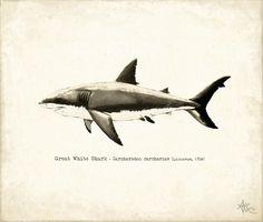 Canvas Print - Great White Shark ••• AmberMarineArt.com