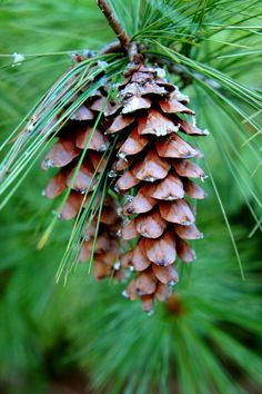 Pine cones...good fire starters