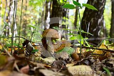 Boletus edulis in the mixed forest