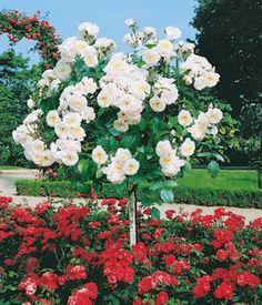 Duftrosen - BALDUR-Garten GmbH | Flowers | Pinterest