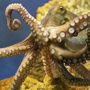 We learned some very interesting things about the octopus. Here are a few things that we know about these amazing animals: An Octopus can sq. Octopus Legs, Octopus Squid, Underwater Images, Underwater World, Plural Of Octopus, Do The Evolution, Octopus Pictures, Sea Life Art, Ocean Life