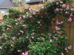 Climbing Pinkie – Climbing Polyantha