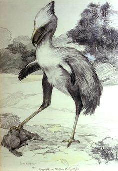 A drawing of the terror bird Phorusrhacos by Charles R. Knight published in Animals of the Past, 1901. (Phorusrhacos longissimus)