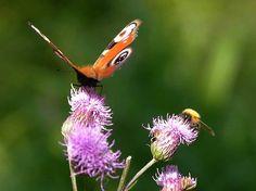 Pelto-ohdake, Cirsium arvense - Kukkakasvit - LuontoPortti