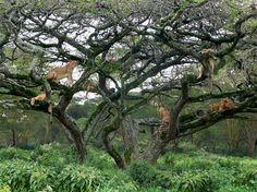 Lion Tree. Nakuru National Park in Kenya.