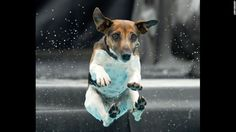 A Jack Russell terrier named Lucie jumps into the water during a dog diving competition held Saturday, June 14, 2014 in Erfurt, Germany.