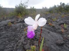 O vulcão Kilauea  O famoso vulcão Kilauea fica na Big Island, e você pode se surpreender ao descobrir como o vulcão mais ativo do mundo atualmente é também tão acessível. Localizado nos limites do maravilhoso Hawaii Volcanoes National Park, é possível ver seu rastro por toda parte: densas florestas dão lugar a vastas expansões de lava solidificada, mas o verde também prevalece sobre a lava...