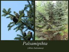 Palsamipihta - puulajipuisto Plants, Plant, Planets