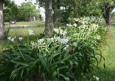 Crinum x Powelli Alba - Jardim Exótico - O maior portal de mudas do Brasil.