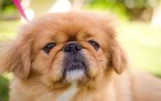 Pekingese, 4k, dogs, cute animals, muzzle, puppy, pets, Pekingese Dog, Lion Dogs