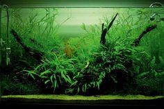 Aquarium fortement planté