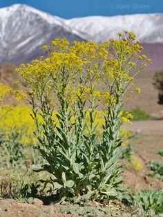 gul plante