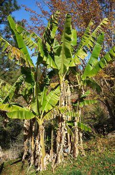 http://jungletropicale.com/2013/02/musa-sikkimensis/