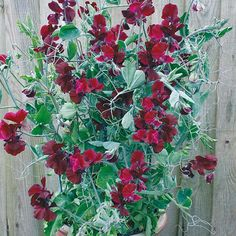 Sweet Pea Solway Velvet Seeds ONLY from Mr Fothergill's Seeds and Plants. Sweet Pea Seeds, Flower Seeds, Delicate, Velvet, Flowers, Plants, Sweet Peas, Balcony, Friends