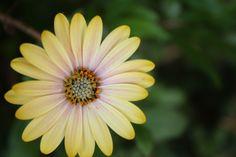 #Margherita #yellow #Rome #Trastevere #flower