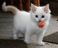 Cutest little kitten with a toy!