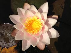 "Water lily ""Fiona"""