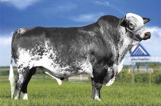 Girolando Dairy Cow Breeds, Farm Animals, Animals And Pets, Gado Leiteiro, Eyes Wallpaper, Beef Cattle, Cartoons Love, Horse Breeds, Livestock