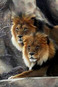 Le roi des animaux, réserve de Masaï Mara Kénya                                                                                                                                                      Plus