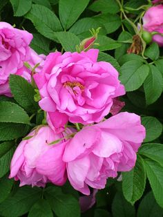 'Pink Pavement Rose' (Rugosa Hybrid) - Uhl, Germany, 1985;  salmon-pink, semi-double, fragrant flowers; dark green, rugosa-type foliage on a healthy shrub with compact habit; 3.5'x3'; Z2.