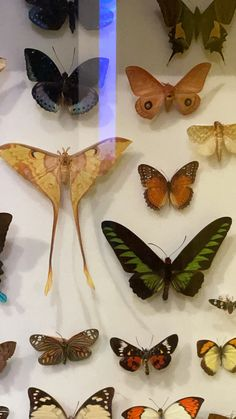 Moth, Insects, Butterfly, Animals, Animales, Animaux, Bowties, Animal Memes, Animal