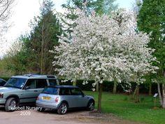 Billedresultat for malus evereste Spring Flowering Trees, Spring Flowers, Pink And White Flowers, Pale Pink, Rare Species, Woodland Garden, Garden Trees, Growing Tree, Garden Landscaping