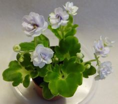 African Violet Shiawasee Trail Small Standard Trailer Plant in Pot | eBay