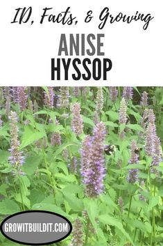 Anise Hyssop – Facts, Identification, Uses, Grow & Care – GrowIt BuildIT