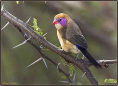 Violet-eared Waxbill, Botswana