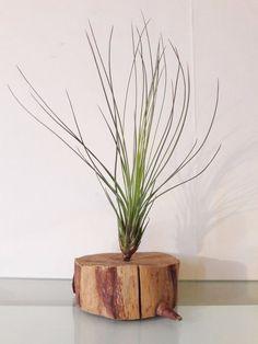 tillandsias juncea plante sans terre filles de l air. Black Bedroom Furniture Sets. Home Design Ideas