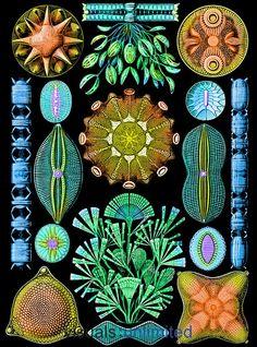 Ernst Haeckel - diatoms