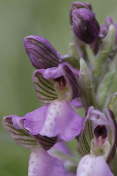 Green-winged Orchid: Anacamptis morio - Flickr - Photo Sharing!